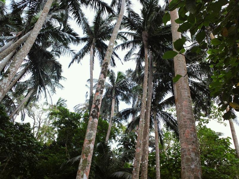 ヤシの群落。まさにジャングルです。