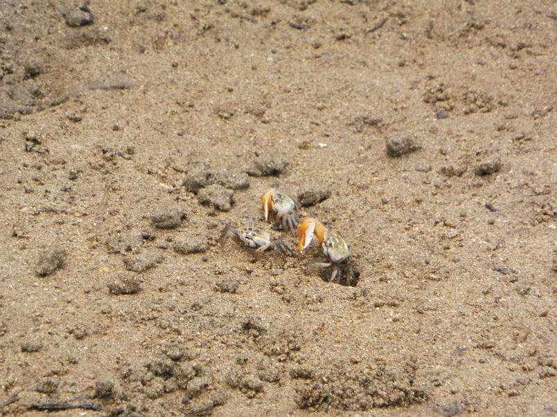 マングローブのある干潟にはカニ達が。穴に潜っていきます。